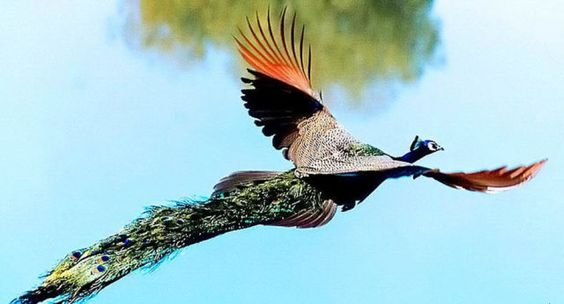 Magnificent Photographs Of Peacocks In Full Flight ~ She's So Fly Outdoor News