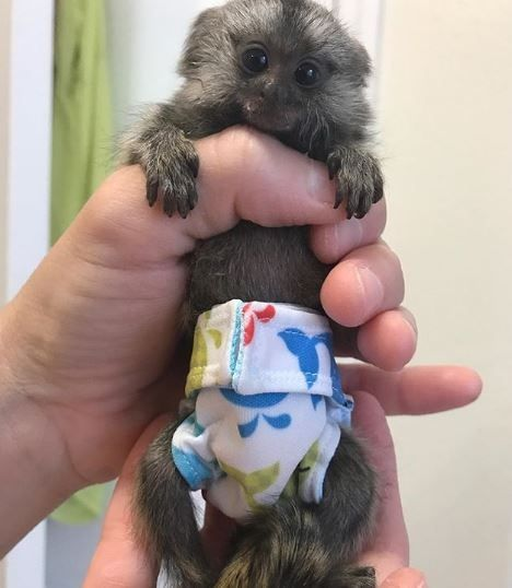 Pin On Baby Monkey Pet