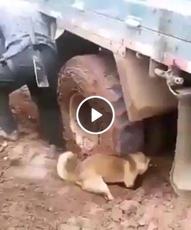 Cachorro desatolando Caminhão
