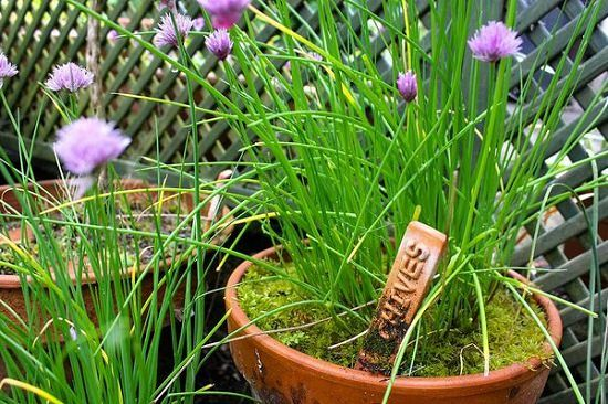 How To Grow Best Chives In Pots Chives Plant Growing Chives Fast Growing Plants