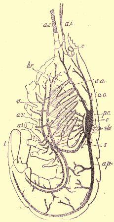 Appareil circulatoire du Homard.
