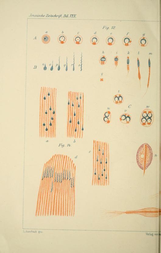 Untersuchungen über die Spermatogenese von Paludina vivipara / - Biodiversity Heritage Library