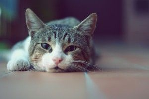 Funny Lazy Cat Wallpaper Free Download for Dekstop PC