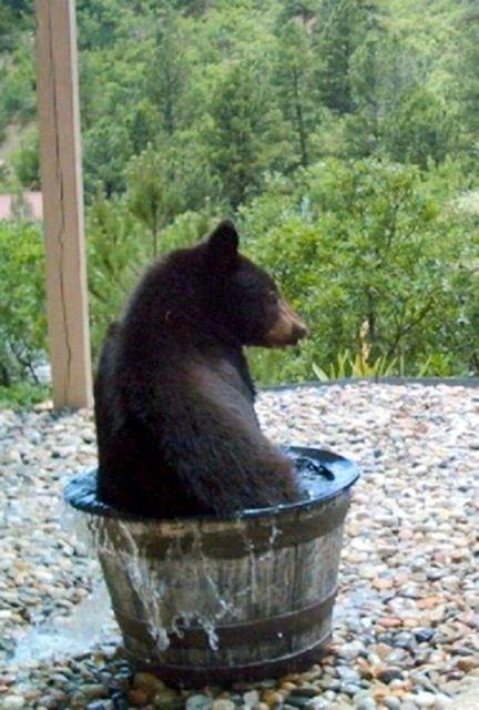 Bear takes a bath in someone's rainwater barrel.