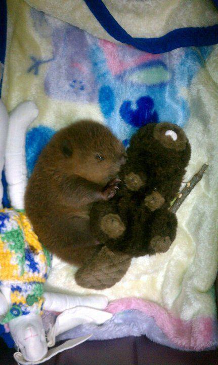 A baby beaver