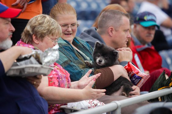 ynCrosby, a Pomeranian pup rescued from PAWS, hangs out with friends during the annual Bark at the Park event during the Aquasox home game at Everett Memorial Stadium Wednesday.