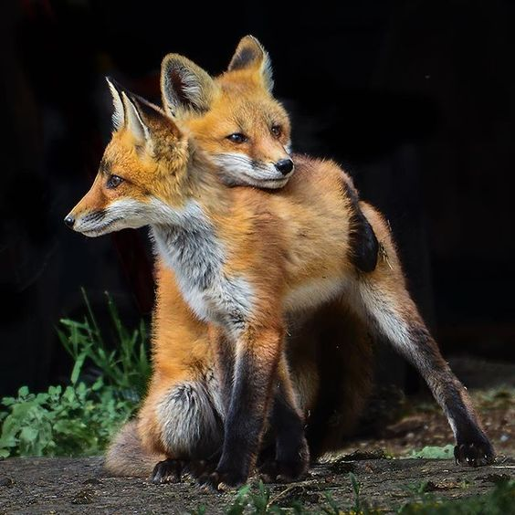 Did you know that fox litters generally range from two to six kits and are born in the spring, with the kits maturing late that summer?