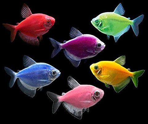 Amazon Com Glofish Basic Live Aquarium Fish Tetra Collection