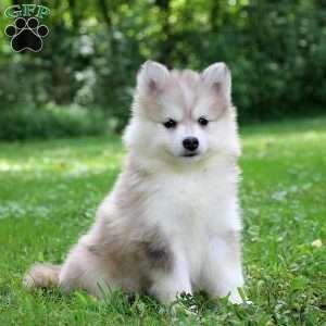 Pomsky Puppies For Sale Pomsky Breed Profile Greenfield Puppies Pomsky Puppies Pomsky Puppies For Sale Cute Little Animals