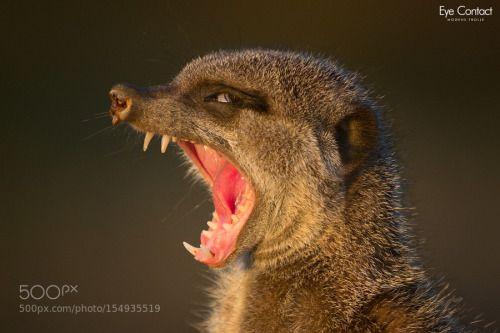Crazy-eyed meerkat by MogensTrolle http://ift.tt/1TooBgi