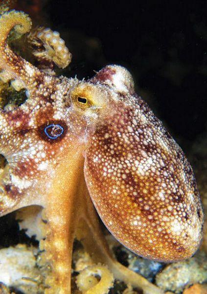 Poison ocellate octopus - octopus mototi