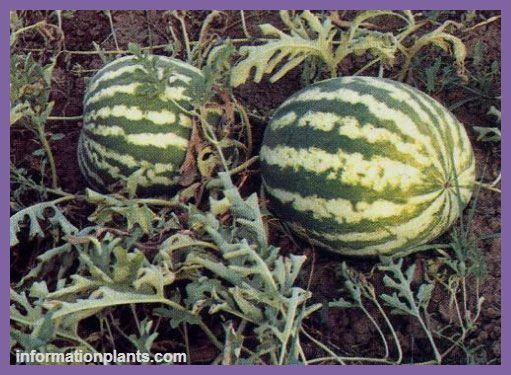 الحنظل Citrullus قسم الفواكه النبات انواع الاسماك مع الصور معلوماتية نبات حيوان اسماك فوائد Watermelon Fruit Food