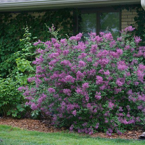 Bloomerang Dark Purple Reblooming Lilac Syringa X Bloomerang Lilac Syringa Lilac Tree