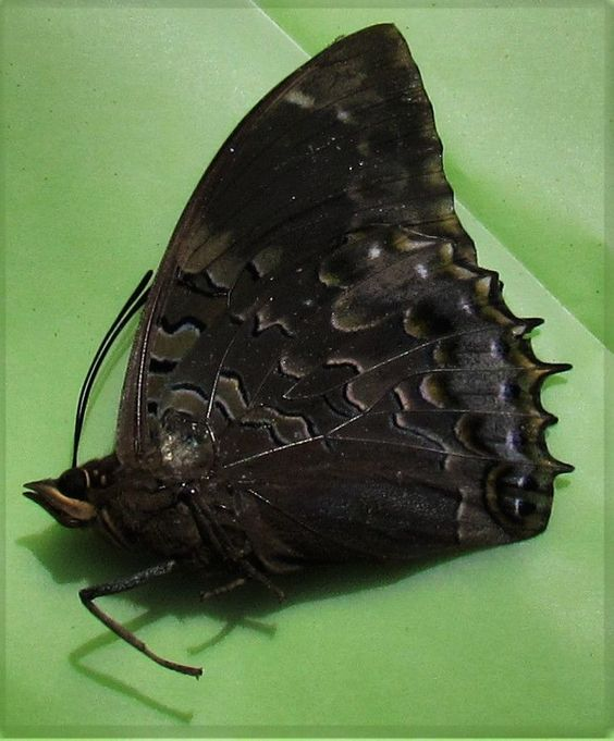 Western Blue Charaxes Charaxes smaragdalis Male Folded/Papered FAST FROM USA
