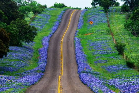 a great road and bluebonnets in Texas at the height of the season...
