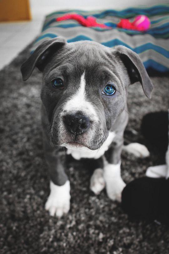 Chiot Pitbull Yeux Bleu