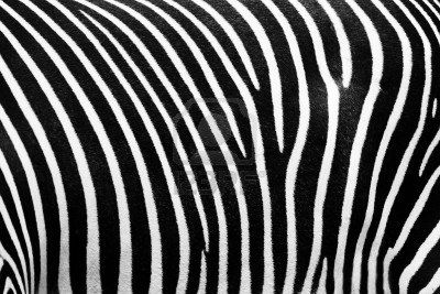 Black and white texture of zebra skin