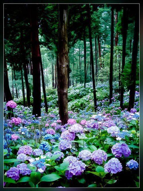 Hydrangeas of Michinoku Hydrangea Garden  Ichinoseki City, Japan ~Julia Lane  on flickr: Favorite Flowers, Wild Hydrangea, Hydrangea Forest, Wood, Outdoor, Hydrangea Heaven, Beautiful Place, Hydrangea