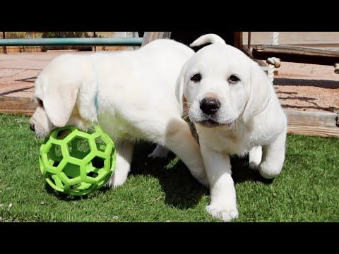 White Labrador Puppies Have A Blast Outside Justlabradors Labradoroftheday Chocolatelab Labradorable In 2020 White Labrador Puppy Puppy Adoption Labrador Puppy