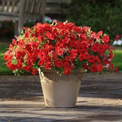 Large 3 Flowers Are Typical Of This Variety Held On Strong Sturdy Stems Imperial Antique Shades Is B Gardening For Beginners Wave Petunias Beautiful Flowers