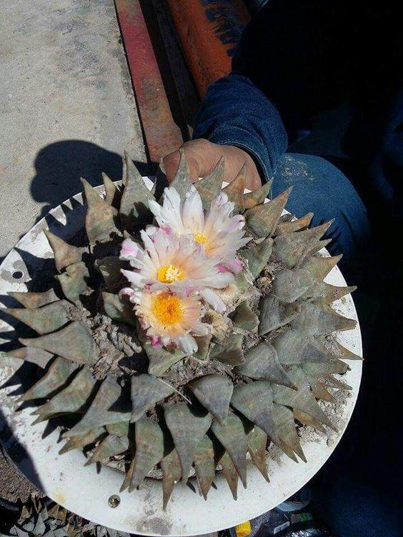 Kaktusi - Page 5 71686ba4650ad658a947b1741b5d1fc6