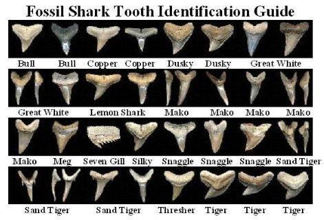Shark Teeth Identification | sharktooth