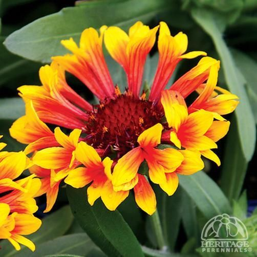 Plant Profile For Gaillardia Fanfare Blanket Flower Perennial Front Of Blanket Fanfare Flower Fro Plants Trees To Plant Drought Tolerant Perennials