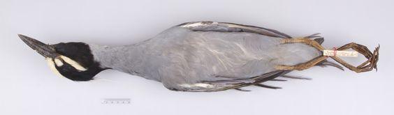 http://mczbase.mcz.harvard.edu/specimen_images/ornithology/large/MCZ247520_Nycticorax_violacea_violacea_v.jpg