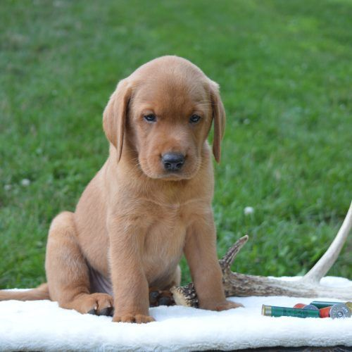 Meet Blaze A Male Labrador Retriever Puppy For Sale In Narvon Pa Labradorretriever Labrador Labrad Labrador Retriever Labrador Retriever Puppies Puppies