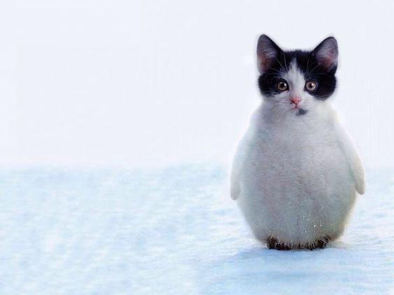 Kittenguin - kitten penguin