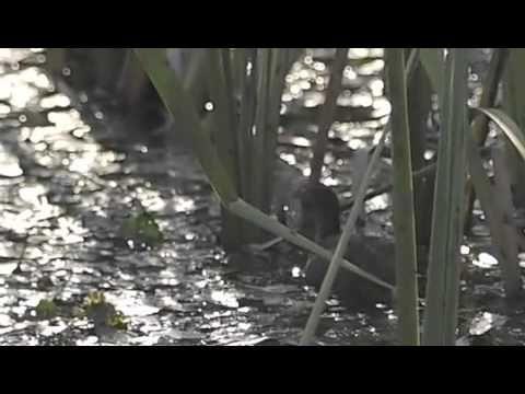 2012 07 16バンの雛というより幼鳥