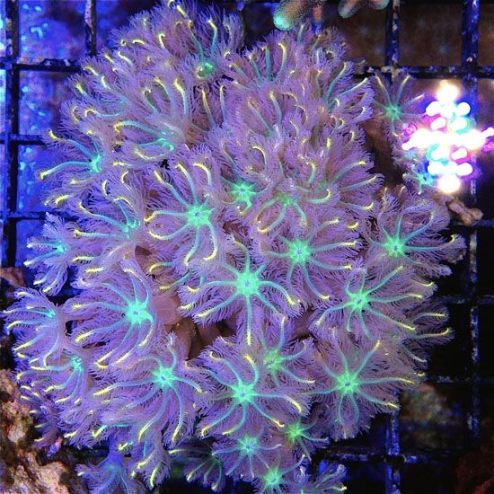 Clove Polyps For Sale