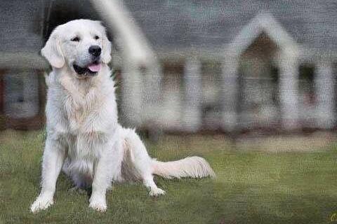 Clarissa Abbott Has Golden Retriever Puppies For Sale In Helena Ga On Akc Puppyfinder Retriever Puppy Puppies For Sale Golden Retriever