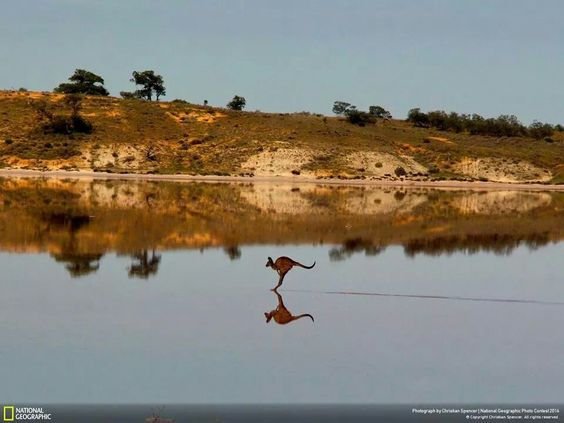 A western grey kangaroo crosses salt lakes in Australia's Murray-Sunset National Park. (Photo by Christian Spencer).