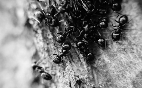 Natur Insekten Ameisen grayscal in Andere. HD Hintergründbilder für Desktop, Mobile, Tablets.