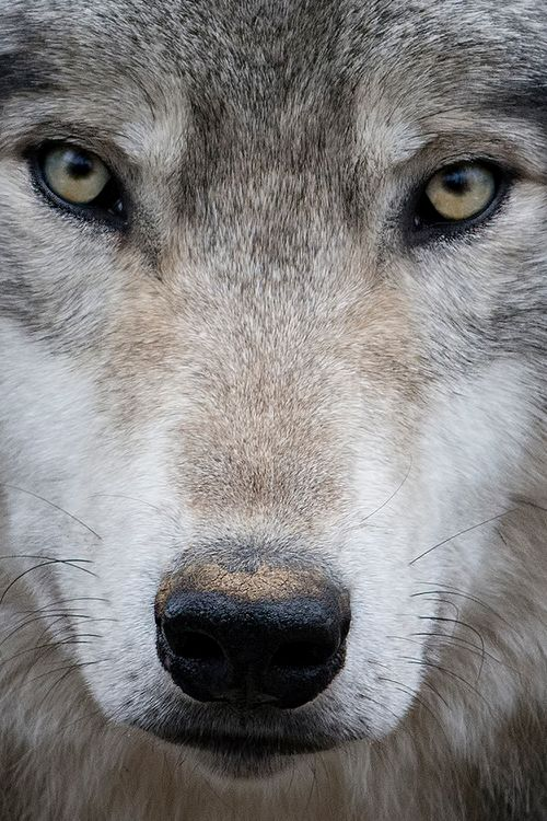 Canadian Timber Wolf (Caris lupus occidentalis) - At Parc Omega Nature Preserve, Canada - by Rudy Pohl - from wolves