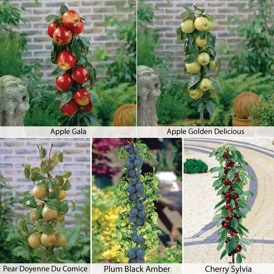 Fruit Tree Collection (Mini Fruit Tree) - Apple Trees & Pear Trees - Thompson & Morgan