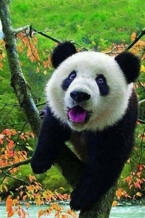Pin Von Anna Kurscheid Auf Panda Pandas Susse Tiere Bilder Susse Tiere