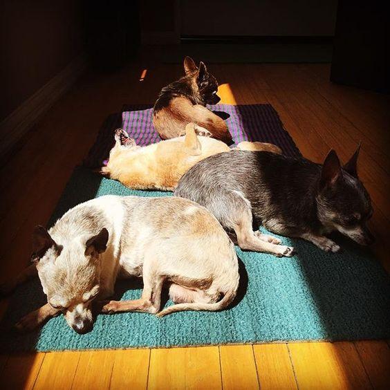 4 Elderly Sun Seeker Chihuahua Dogs