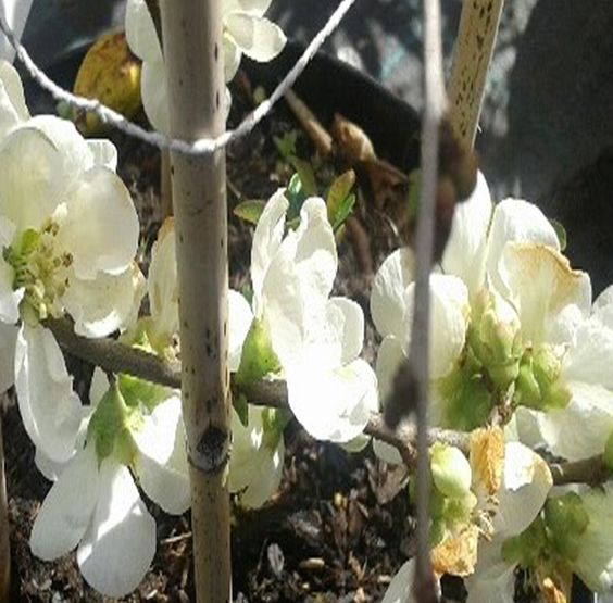 membrillo japonés blanco o chaenomeles planta