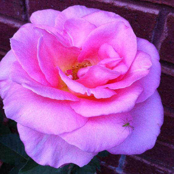 Pink Rose!!!