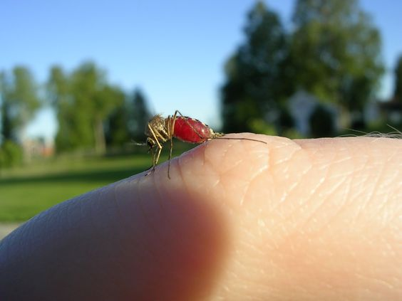 Has malaria met its match? Will there be a  vaccine for the disease by 2015? I www.frontiergap.com I #vaccine #malaria