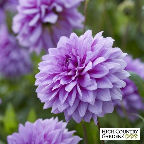 Blue Boy Dahlia Bulb Flowers Summer Blooming Flowers High Country Gardens