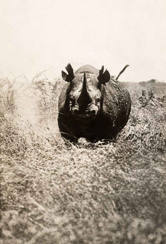 A rhinoceros charges the photographer in Africa ~  photograph by A. Dugmore, May 1910. National Geographic: Geographic Photography, Rhinoceros Charges, Photographer National, Photographer S Hand, National Geographic, Africa Photograph, Animals Rhinos, Antique Photo