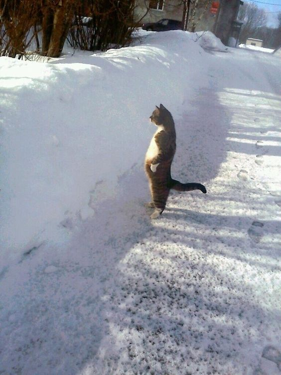 Un chat des neiges qui surveille son territoire et rêve de l'agrandir. | 51 photos d'animaux qu'il faut voir avant de mourir