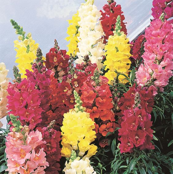 Antirrhinum Madame Butterfly Double mix - Flowers A to B - Alpha Search for Flowers - Flowers - Kings Seeds (NZ) Ltd