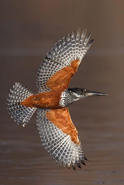 giant kingfisher  (photo by isak pretorius)