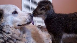 Little baby lamb makes friends with Misky the dog, via YouTube.
