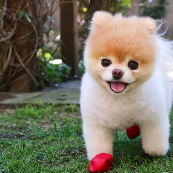 Chow Chow Puppy Available 100 Pure Breed Puppy Chow Chow Available 100 Pure Breed Puppy Type Dogs 101 Chow Chow Video In 2020 Dog Breeds Chow Dog Breed Dog Marketing