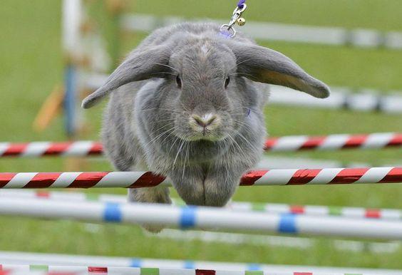 Concours de saut d'obstacles pour lapins  à Weissenbrunn vorm Wald (Allemagne), le 2 septembre 2012.    JENS MEYER / AP / SIPA
